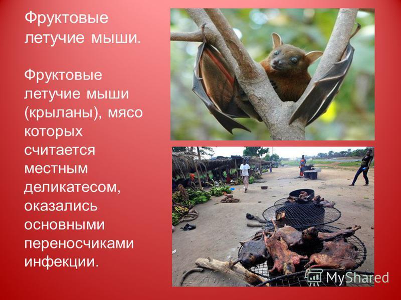 Фруктовые летучие мыши. Фруктовые летучие мыши (крыланы), мясо которых считается местным деликатесом, оказались основными переносчиками инфекции.