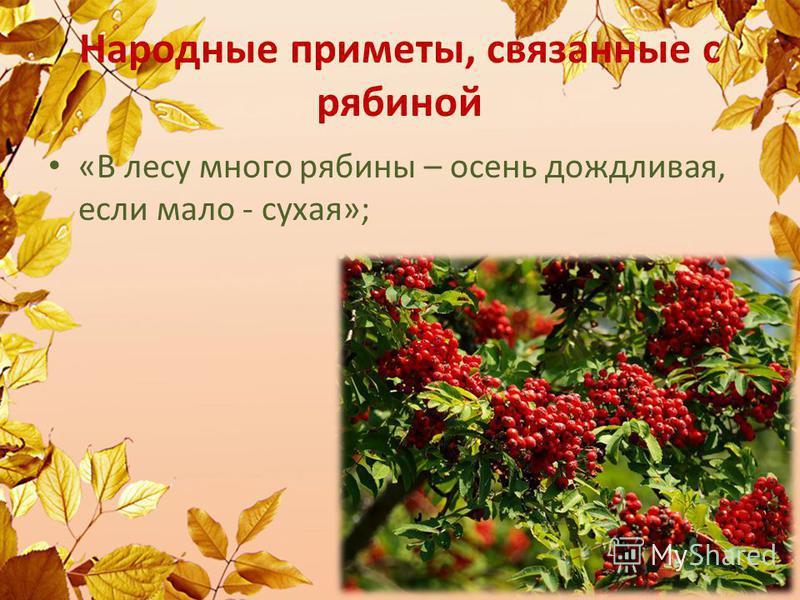 Народные приметы, связанные с рябиной «В лесу много рябины – осень дождливая, если мало - сухая»;