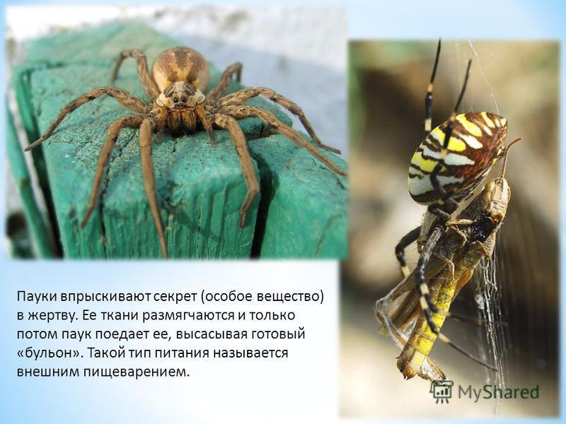 Пауки впрыскивают секрет (особое вещество) в жертву. Ее ткани размягчаются и только потом паук поедает ее, высасывая готовый «бульон». Такой тип питания называется внешним пищеварением.