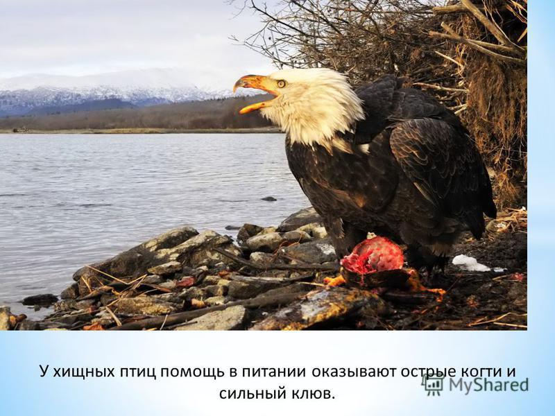 У хищных птиц помощь в питании оказывают острые когти и сильный клюв.