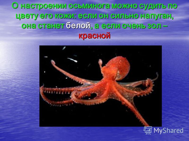 О настроении осьминога можно судить по цвету его кожи: если он сильно напуган, она станет белой, а если очень зол – красной
