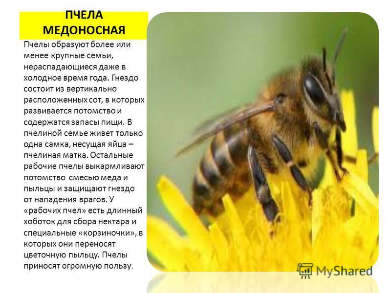 ПЧЕЛА МЕДОНОСНАЯ Пчелы образуют более или менее крупные семьи, нераспадающиеся даже в холодное время года. Гнездо состоит из вертикально расположенных сот, в которых развивается потомство и содержатся запасы пищи. В пчелиной семье живет только одна с