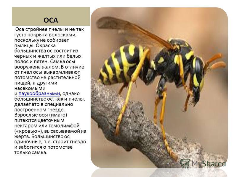 ОСА Оса стройнее пчелы и не так густо покрыта волосками, поскольку не собирает пыльцы. Окраска большинства ос состоит из черных и желтых или белых полос и пятен. Самка осы вооружена жалом. В отличие от пчел осы выкармливают потомство не растительной