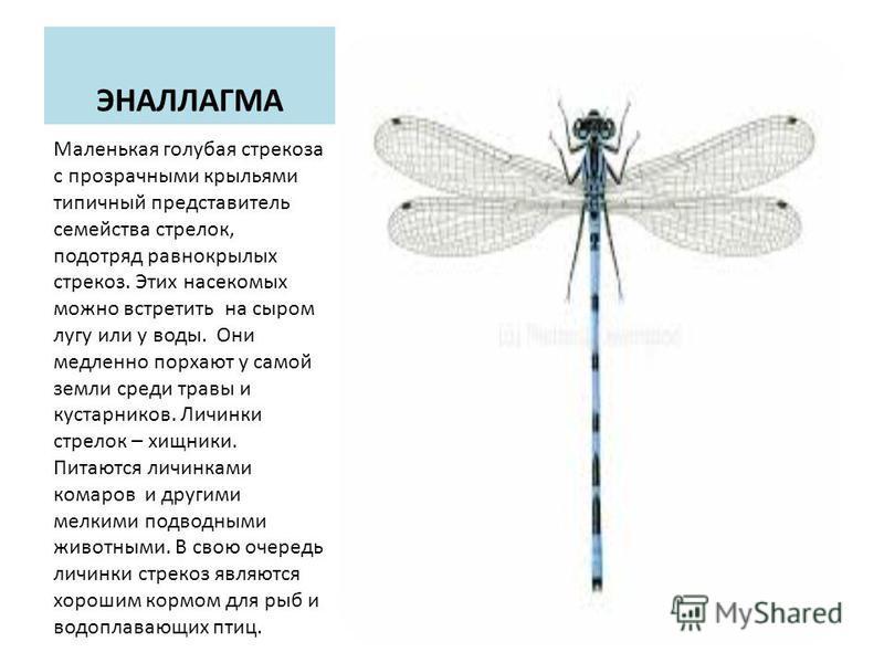 ЭНАЛЛАГМА Маленькая голубая стрекоза с прозрачными крыльями типичный представитель семейства стрелок, подотряд равнокрылых стрекоз. Этих насекомых можно встретить на сыром лугу или у воды. Они медленно порхают у самой земли среди травы и кустарников.
