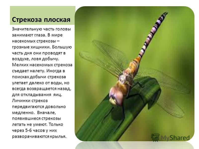 Стрекоза плоская Значительную часть головы занимают глаза. В мире насекомых стрекозы – грозные хищники. Большую часть дня они проводят в воздухе, ловя добычу. Мелких насекомых стрекоза съедает налету. Иногда в поисках добычи стрекоза улетает далеко о