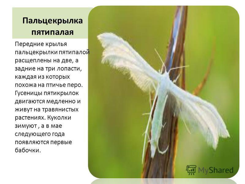 Пальцекрылка пятипалая Передние крылья пальцекрылки пятипалой расщеплены на две, а задние на три лопасти, каждая из которых похожа на птичье перо. Гусеницы пятикрылок двигаются медленно и живут на травянистых растениях. Куколки зимуют, а в мае следую