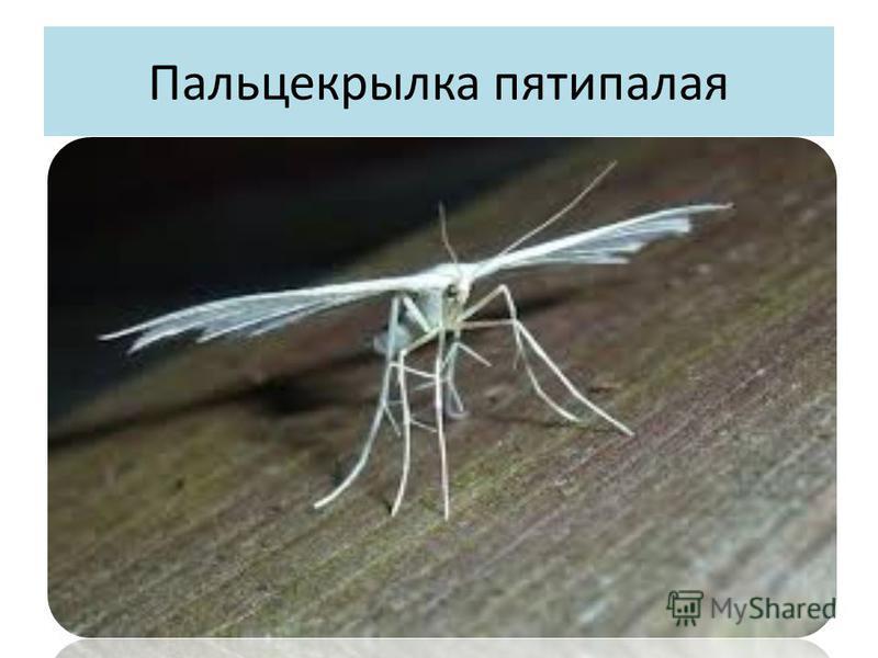 Пальцекрылка пятипалая