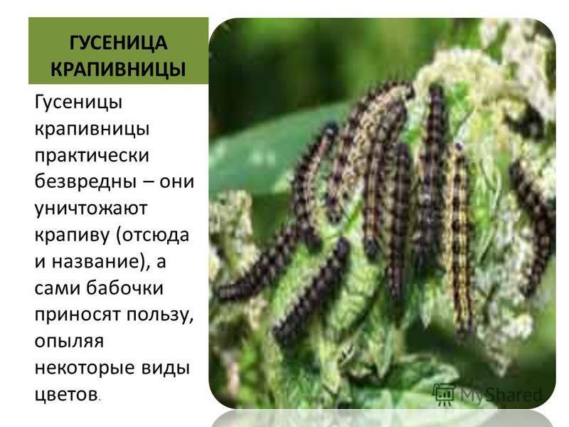 гусеницы фото и название