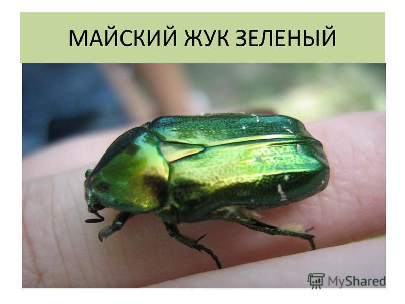 МАЙСКИЙ ЖУК ЗЕЛЕНЫЙ