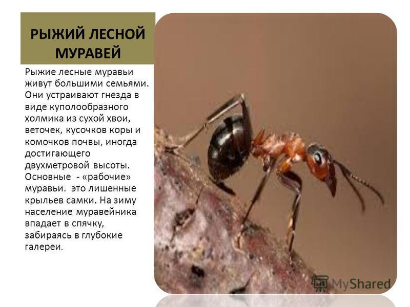 РЫЖИЙ ЛЕСНОЙ МУРАВЕЙ Рыжие лесные муравьи живут большими семьями. Они устраивают гнезда в виде куполообразного холмика из сухой хвои, веточек, кусочков коры и комочков почвы, иногда достигающего двухметровой высоты. Основные - «рабочие» муравьи. это