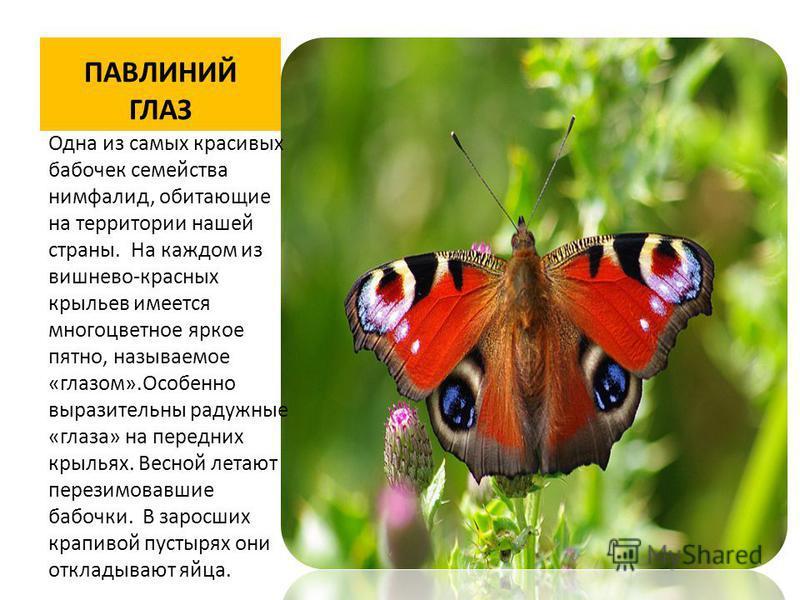 ПАВЛИНИЙ ГЛАЗ Одна из самых красивых бабочек семейства нимфалид, обитающие на территории нашей страны. На каждом из вишнево-красных крыльев имеется многоцветное яркое пятно, называемое «глазом».Особенно выразительны радужные «глаза» на передних крыль