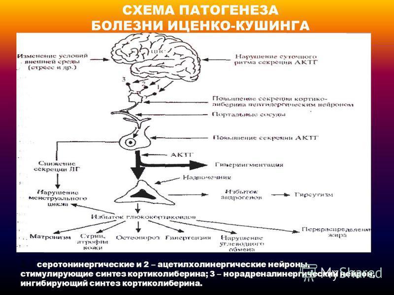 СХЕМА ПАТОГЕНЕЗА БОЛЕЗНИ ИЦЕНКО-КУШИНГА 1 – серотонинергические и 2 – ацетилхолинергические нейроны, стимулирующие синтез кортиколиберина; 3 – норадреналинергический нейрон, ингибирующий синтез кортиколиберина.