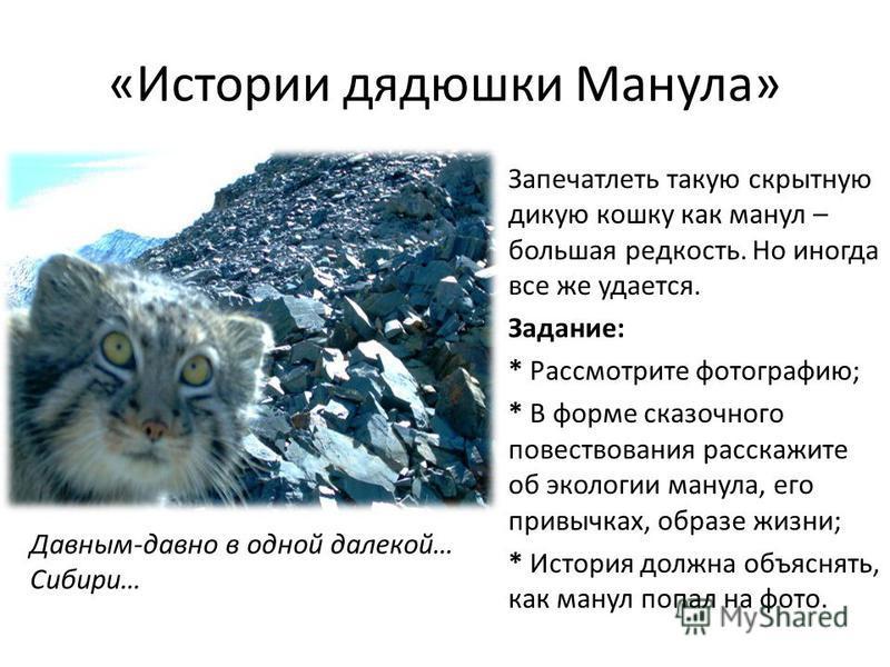 «Истории дядюшки Манула» Запечатлеть такую скрытную дикую кошку как манул – большая редкость. Но иногда все же удается. Задание: * Рассмотрите фотографию; * В форме сказочного повествования расскажите об экологии манула, его привычках, образе жизни;