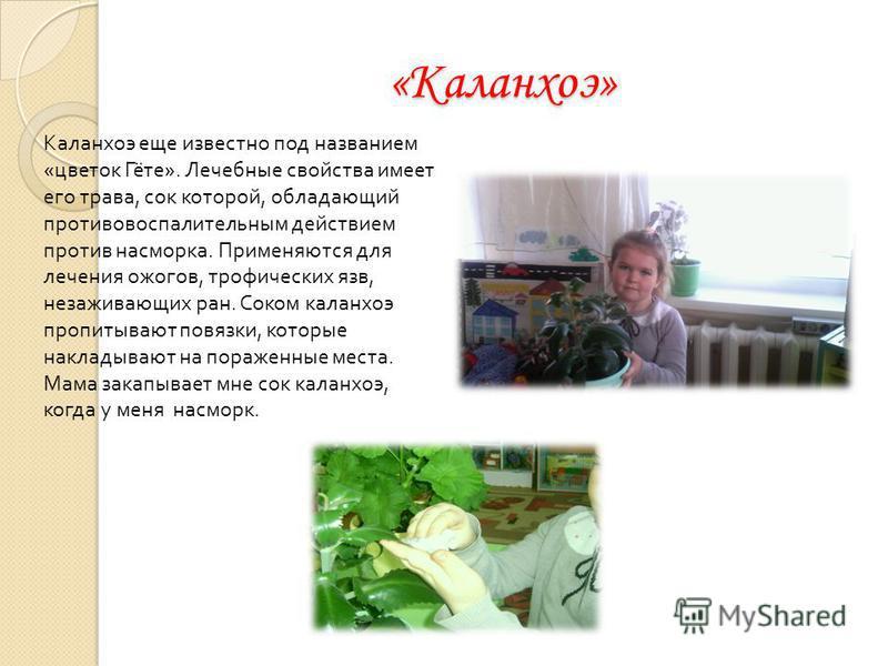 «Каланхоэ» Каланхоэ еще известно под названием «цветок Гёте». Лечебные свойства имеет его трава, сок которой, обладающий противовоспалительным действием против насморка. Применяются для лечения ожогов, трофических язв, незаживающих ран. Соком каланхо