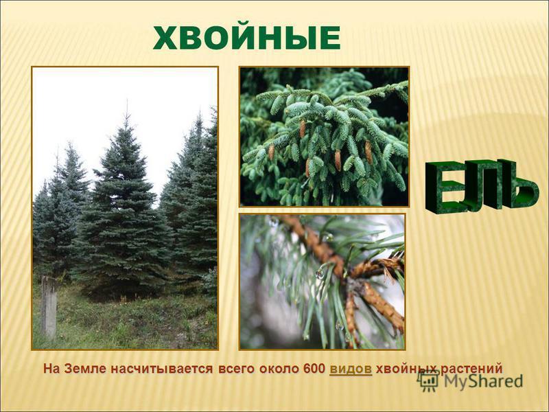 На Земле насчитывается всего около 600 видов хвойных растений видов