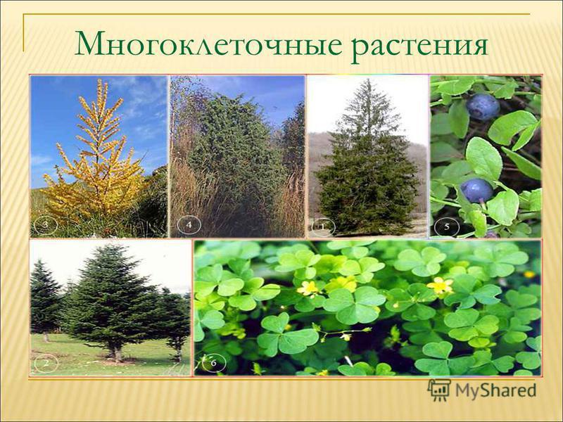 Многоклеточные растения