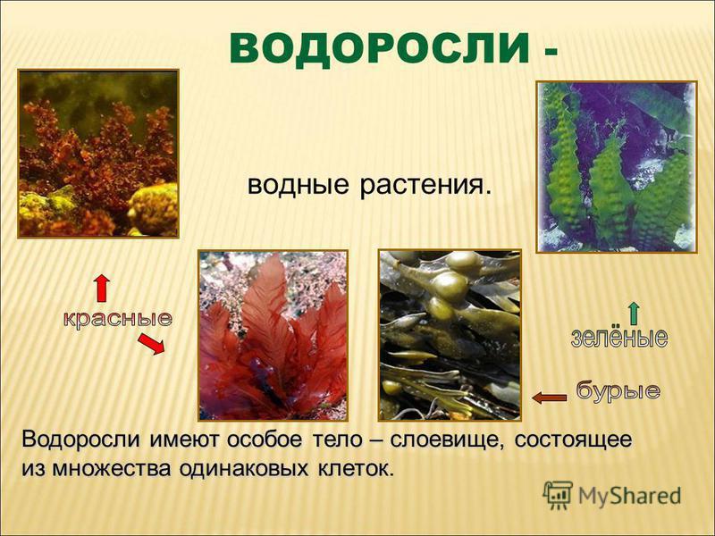ВОДОРОСЛИ - водные растения. Водоросли имеют особое тело – слоевище, состоящее из множества одинаковых клеток.