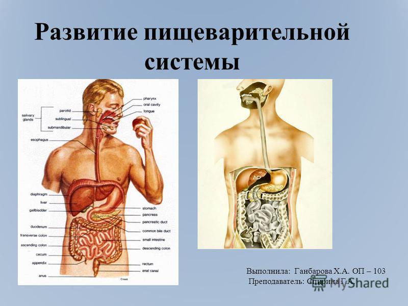 Развитие пищеварительной системы Выполнила: Ганбарова Х.А. ОП – 103 Преподаватель: Спирина Г.А.