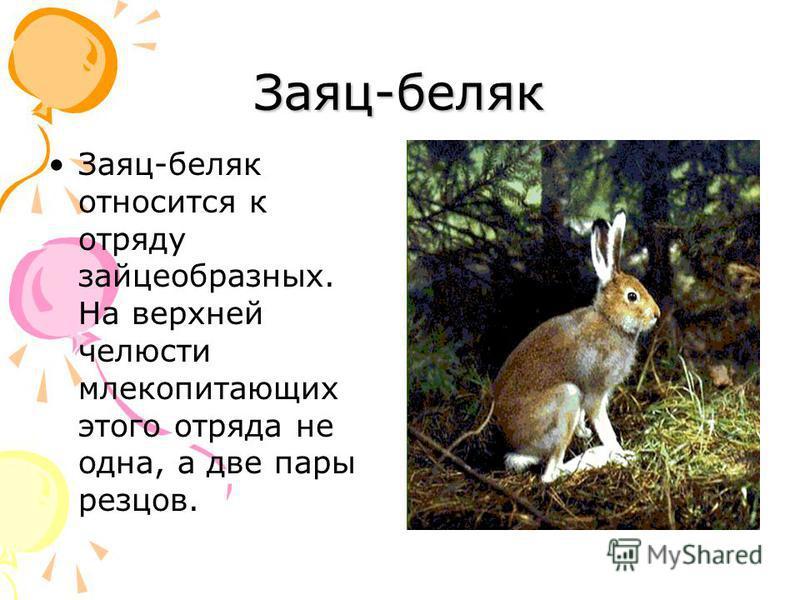 Заяц-беляк Заяц-беляк относится к отряду зайцеобразных. На верхней челюсти млекопитающих этого отряда не одна, а две пары резцов.