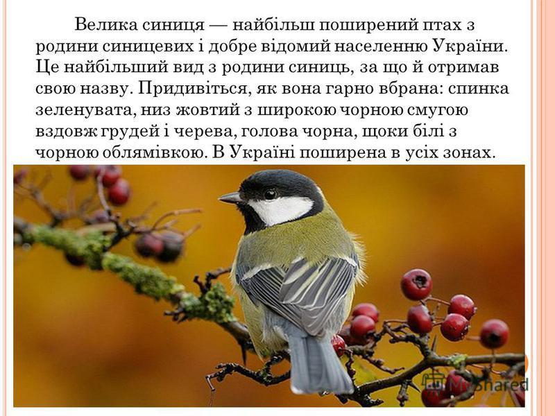 Велика синиця найбільш поширений птах з родини синицевих і добре відомий населенню України. Це найбільший вид з родини синиць, за що й отримав свою назву. Придивіться, як вона гарно вбрана: спинка зеленувата, низ жовтий з широкою чорною смугою вздовж