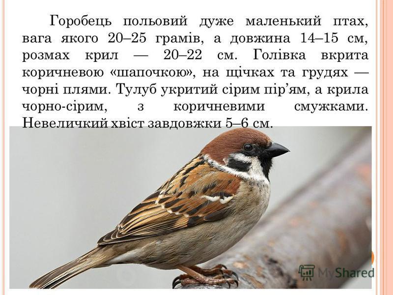 Горобець польовий дуже маленький птах, вага якого 20–25 грамів, а довжина 14–15 см, розмах крил 20–22 см. Голівка вкрита коричневою «шапочкою», на щічках та грудях чорні плями. Тулуб укритий сірим пірям, а крила чорно-сірим, з коричневими смужками. Н