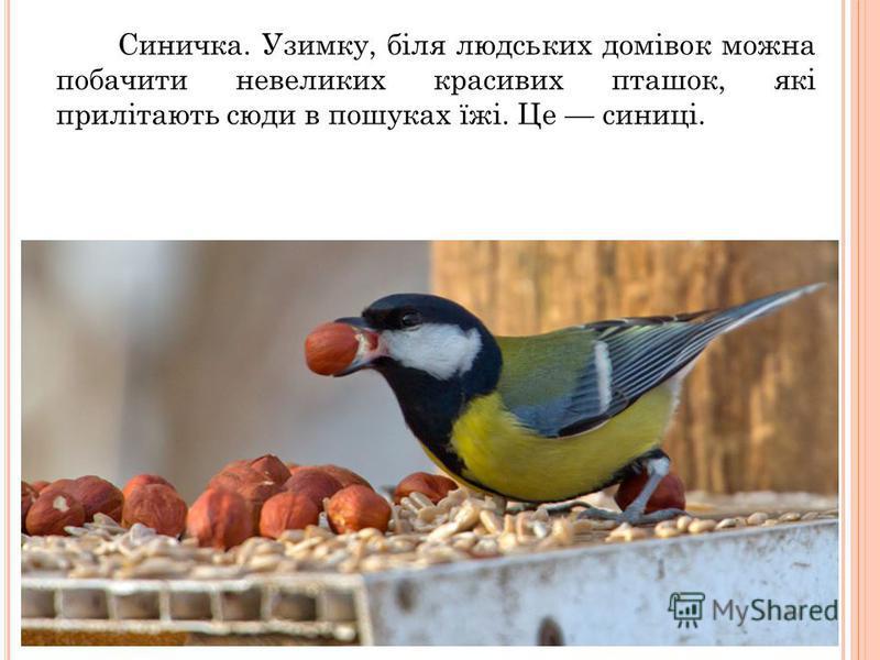 Синичка. Узимку, біля людських домівок можна побачити невеликих красивих пташок, які прилітають сюди в пошуках їжі. Це синиці.
