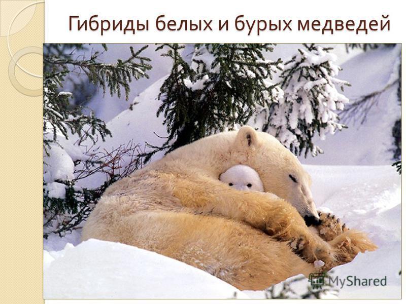 Гибриды белых и бурых медведей