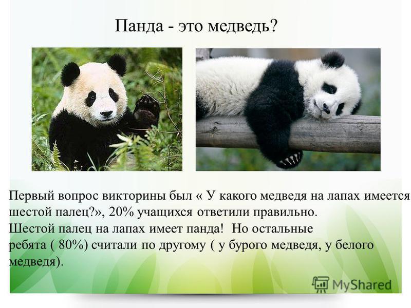 Панда - это медведь? Первый вопрос викторины был « У какого медведя на лапах имеется шестой палец?», 20% учащихся ответили правильно. Шестой палец на лапах имеет панда! Но остальные ребята ( 80%) считали по другому ( у бурого медведя, у белого медвед