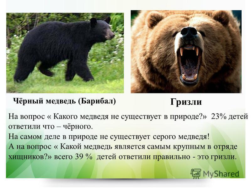 Чёрный медведь (Барибал) Гризли На вопрос « Какого медведя не существует в природе?» 23% детей ответили что – чёрного. На самом деле в природе не существует серого медведя! А на вопрос « Какой медведь является самым крупным в отряде хищников?» всего