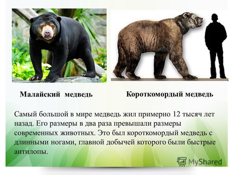 Малайский медведь Короткомордый медведь Самый большой в мире медведь жил примерно 12 тысяч лет назад. Его размеры в два раза превышали размеры современных животных. Это был короткомордый медведь с длинными ногами, главной добычей которого были быстры
