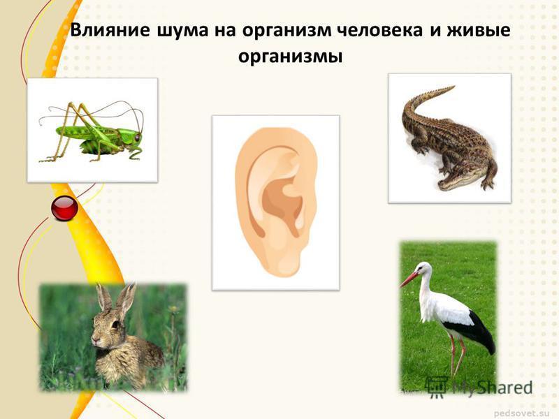 Влияние шума на организм человека и живые организмы