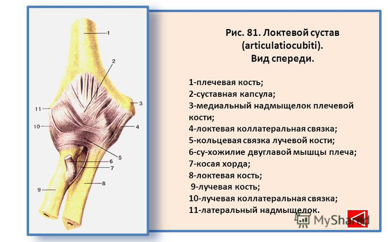 Рис. 81. Локтевой сустав (articulatiocubiti). Вид спереди. 1-плечевая кость; 2-суставная капсула; 3-медиальный надмыщелок плечевой кости; 4-локтевая коллатеральная связка; 5-кольцевая связка лучевой кости; 6-су-хожилие двуглавой мышцы плеча; 7-косая