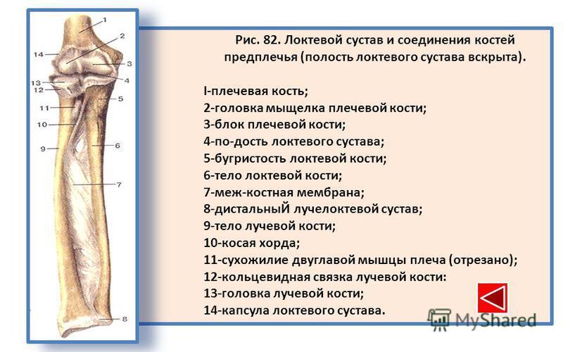 Рис. 82. Локтевой сустав и соединения костей предплечья (полость локтевого сустава вскрыта). I-плечевая кость; 2-головка мыщелка плечевой кости; 3-блок плечевой кости; 4-по-дость локтевого сустава; 5-бугристость локтевой кости; 6-тело локтевой кости;