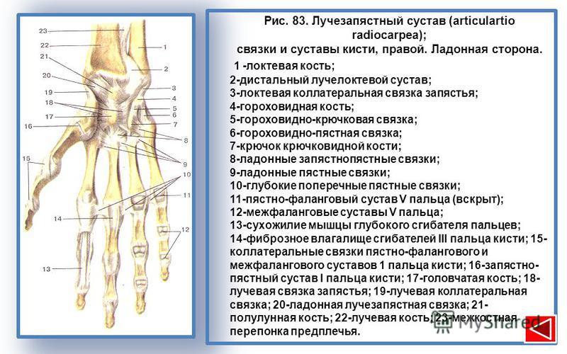 Рис. 83. Лучезапястный сустав (articulartio radiocarpea); связки и суставы кисти, правой. Ладонная сторона. 1 -локтевая кость; 2-дистальный лучелоктевой сустав; 3-локтевая коллатеральная связка запястья; 4-гороховидная кость; 5-гороховидно-крючковая