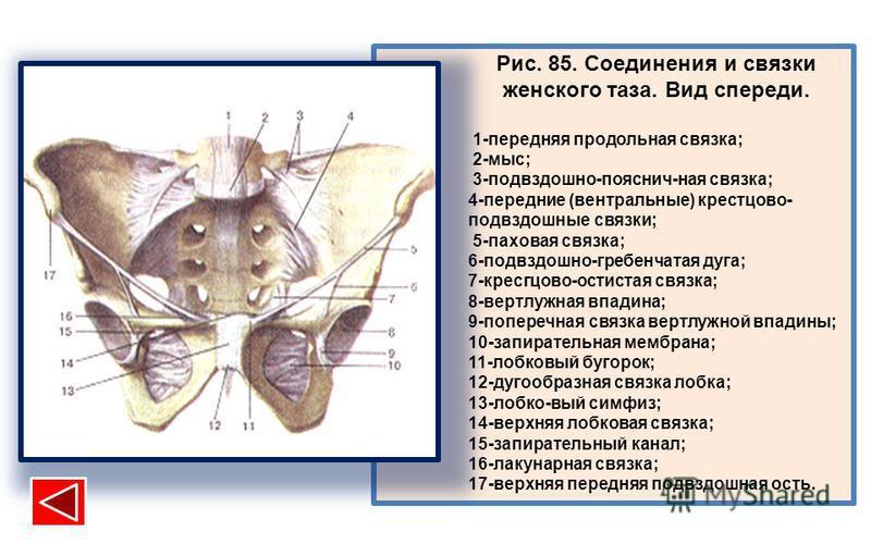 Рис. 85. Соединения и связки женского таза. Вид спереди. 1-передняя продольная связка; 2-мыс; 3-подвздошно-пояснич-ная связка; 4-передние (вентральные) крестцово- подвздошные связки; 5-паховая связка; 6-подвздошно-гребенчатая дуга; 7-кресгцово-остист