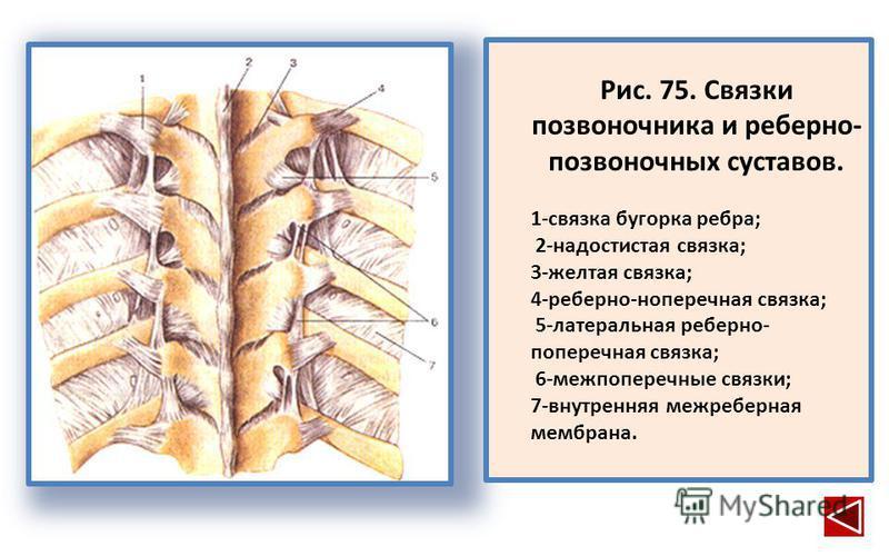 Рис. 75. Связки позвоночника и реберно- позвоночных суставов. 1-связка бугорка ребра; 2-надостистая связка; 3-желтая связка; 4-реберно-ноперечная связка; 5-латеральная реберно- поперечная связка; 6-межпоперечные связки; 7-внутренняя межреберная мембр