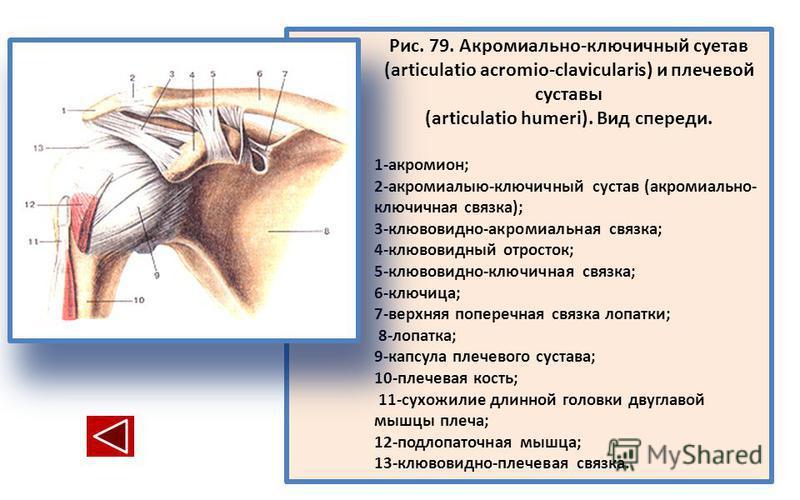 Рис. 79. Акромиально-ключичный сустав (articulatio acromio-clavicularis) и плечевой суставы (articulatio humeri). Вид спереди. 1-акромион; 2-акромиалыю-ключичный сустав (акромиально- ключичная связка); 3-клювовидно-акромиальная связка; 4-клювовидный