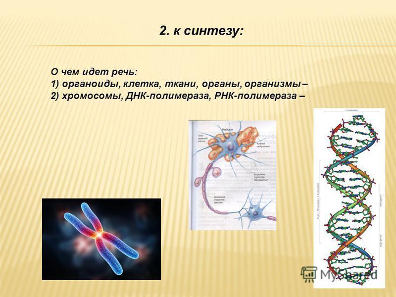 2. к синтезу: О чем идет речь: 1) органоиды, клетка, ткани, органы, организмы – 2) хромосомы, ДНК-полимераза, РНК-полимераза –