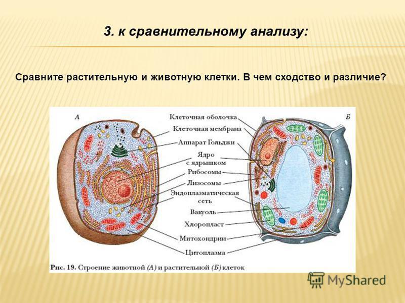 3. к сравнительному анализу: Сравните растительную и животную клетки. В чем сходство и различие?