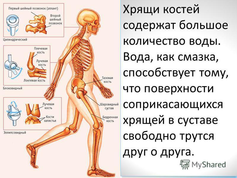 Хрящи костей содержат большое количество воды. Вода, как смазка, способствует тому, что поверхности соприкасающихся хрящей в суставе свободно трутся друг о друга.