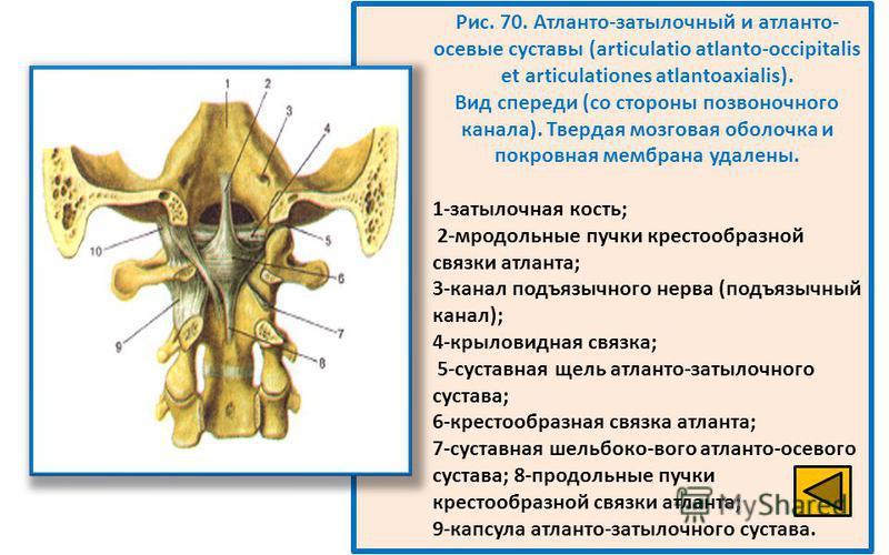 Рис. 70. Атланто-затылочный и атланто- осевые суставы (articulatio atlanto-occipitalis et articulationes atlantoaxialis). Вид спереди (со стороны позвоночного канала). Твердая мозговая оболочка и покровная мембрана удалены. 1-затылочная кость; 2-мрод