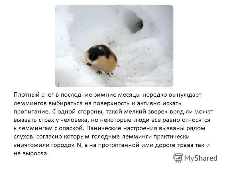 Плотный снег в последние зимние месяцы нередко вынуждает леммингов выбираться на поверхность и активно искать пропитание. С одной стороны, такой мелкий зверек вряд ли может вызвать страх у человека, но некоторые люди все равно относятся к леммингам с