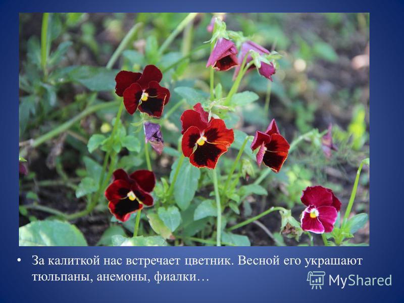 За калиткой нас встречает цветник. Весной его украшают тюльпаны, анемоны, фиалки…