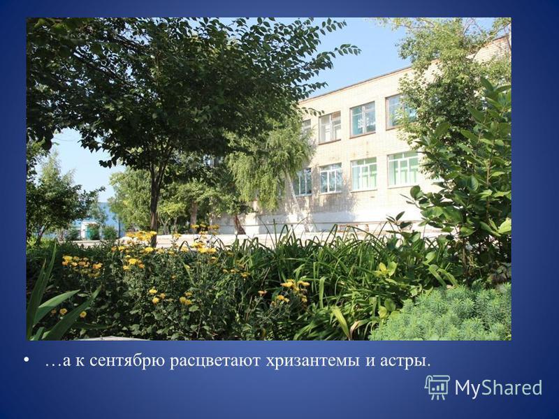 …а к сентябрю расцветают хризантемы и астры.