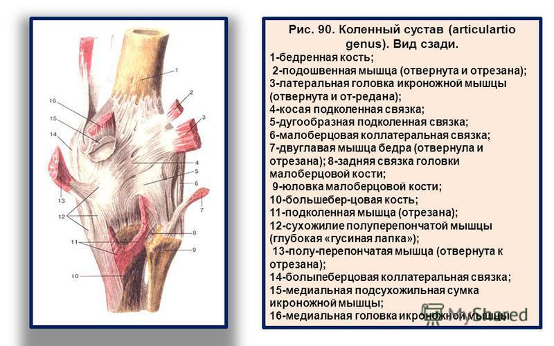 Рис. 90. Коленный сустав (articulartio genus). Вид сзади. 1-бедренная кость; 2-подошвенная мышца (отвернута и отрезана); 3-латеральная головка икроножной мышцы (отвернута и от-редана); 4-косая подколенная связка; 5-дугообразная подколенная связка; 6-