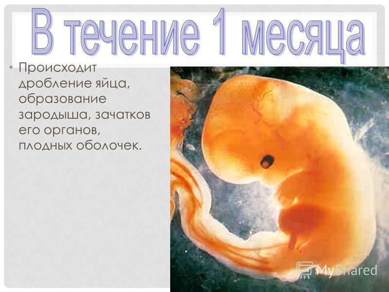 Происходит дробление яйца, образование зародыша, зачатков его органов, плодных оболочек.