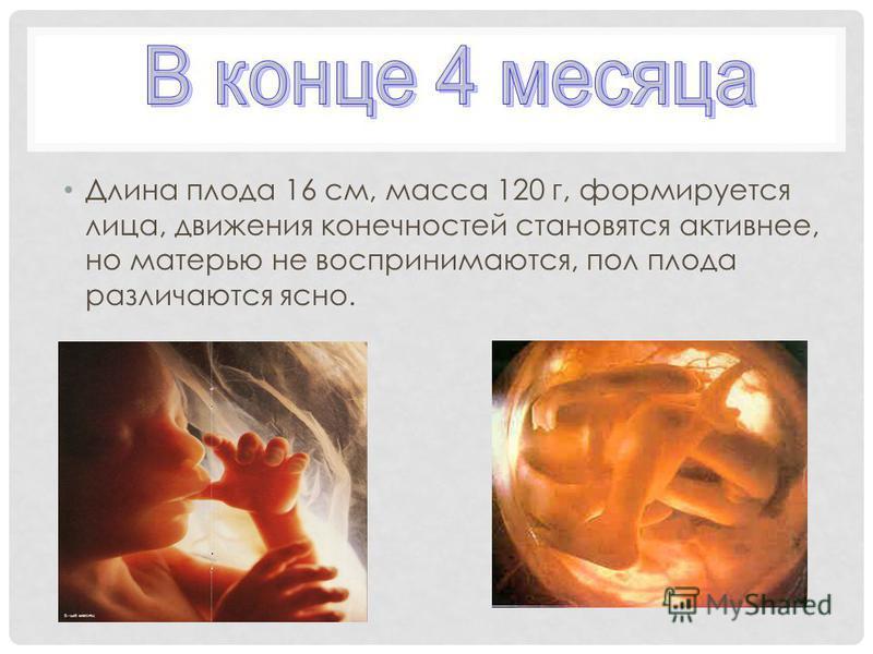 Длина плода 16 см, масса 120 г, формируется лица, движения конечностей становятся активнее, но матерью не воспринимаются, пол плода различаются ясно.