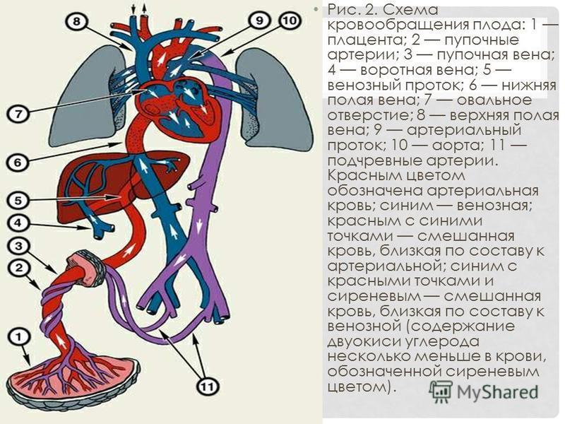 Рис. 2. Схема кровообращения плода: 1 плацента; 2 пупочные артерии; 3 пупочная вена; 4 воротная вена; 5 венозный проток; 6 нижняя полая вена; 7 овальное отверстие; 8 верхняя полая вена; 9 артериальный проток; 10 аорта; 11 подчревные артерии. Красным