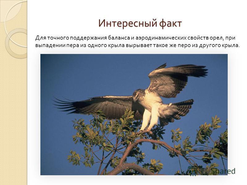 Интересный факт Для точного поддержания баланса и аэродинамических свойств орел, при выпадении пера из одного крыла вырывает такое же перо из другого крыла.