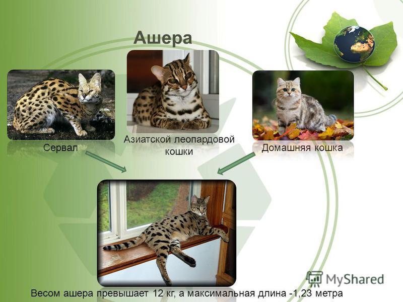 Ашера Сервал Домашняя кошка Весом ашера превышает 12 кг, а максимальная длина -1,23 метра Азиатской леопардовой кошки
